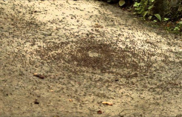 蟻が死ぬまで回り続ける現象
