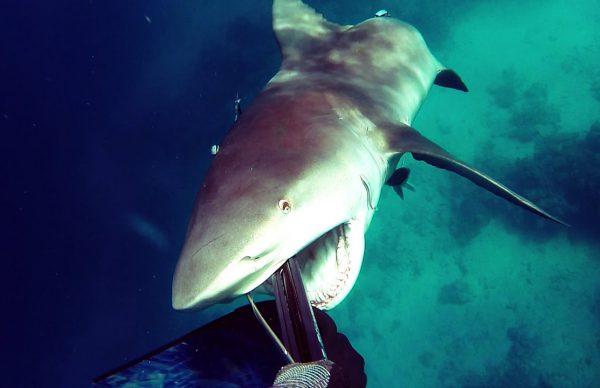 スピアフィッシング中にいきなりサメが襲いかかってくる!