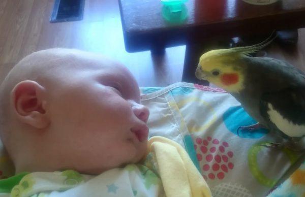 眠っている赤ちゃんに優しく歌ってキスをするインコ