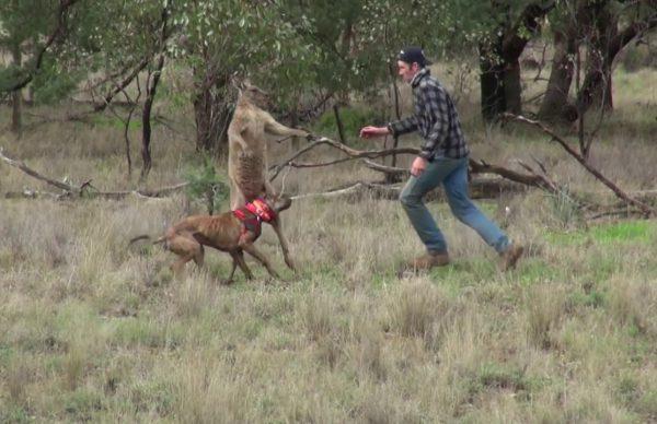 愛犬を守るためにカンガルーと闘う男