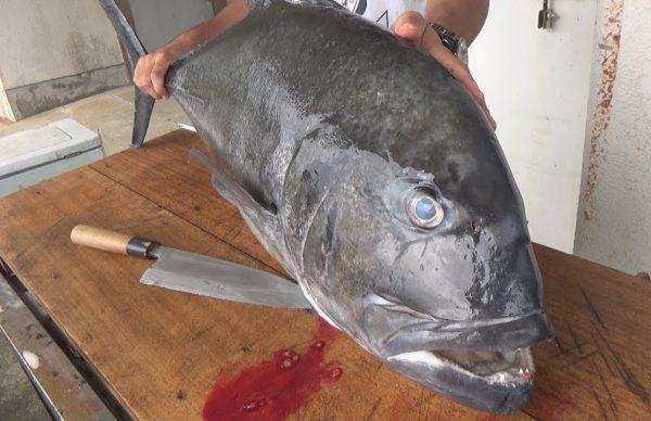 重さ15kgの超巨大アジを捌いたら握力がゼロになった!