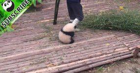 飼育員さんが好きすぎるパンダ